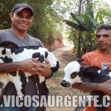 Vaca dá à luz bezerros gêmeos no Córrego São Francisco