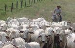 Segunda etapa da vacinaçãodo gadocontra aftosa em Minas começou ontem quarta-feira (1/11)