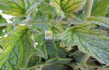 Pesquisadores desvendam mecanismo inédito de resistência cruzada entre vírus e bactérias em plantas