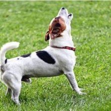 Vereadores aprovam lei que proíbe cachorro de latir em Santa Catarina